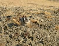 Badger, burrows, american badger, kit fox, surveys